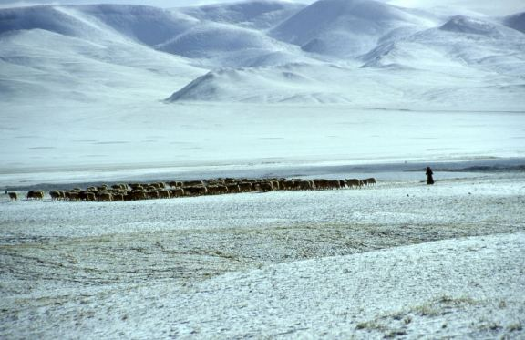 Tibetan herd of sheep and goats