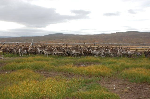 A Saami reindeer herd in Norway