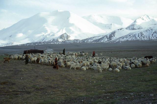 Tibetan pastoralists
