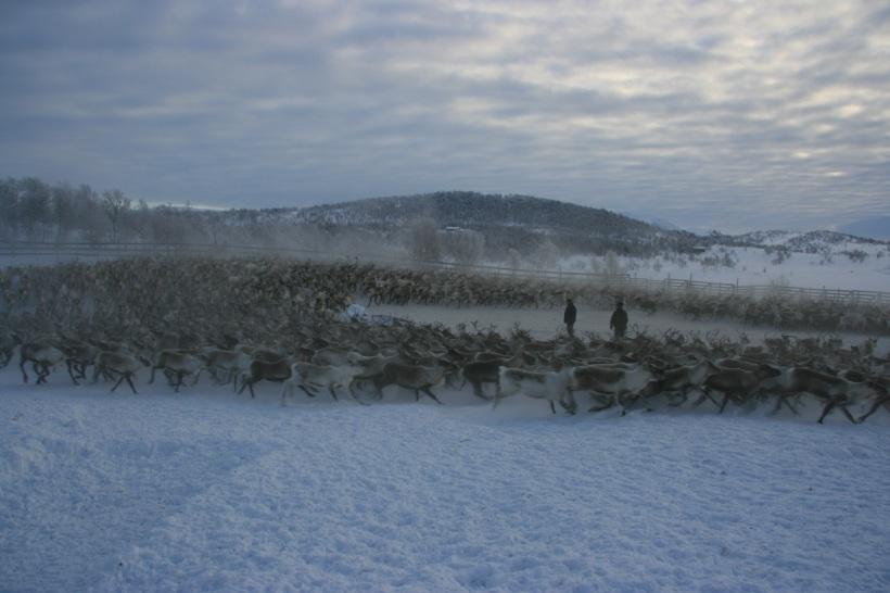 Herd of reindeer in corral. Photo: (C) Bård-Jørgen Bårdsen.