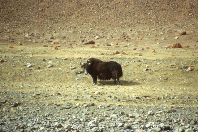 Wild yak