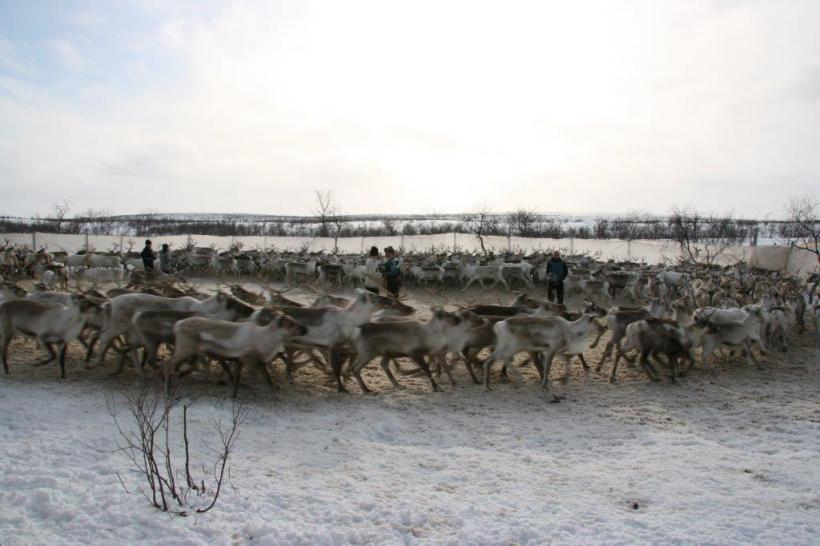Reindeer herd in corral. (C) Bård-Jørgen Bårdsen.